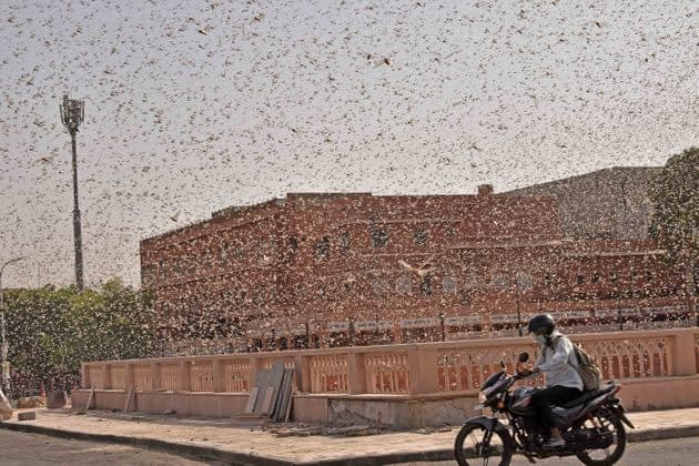 Locust swarms wreck havoc in Africa and Asia